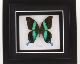 Papilio blumei (Green Swallowtail) Taxidermy Butterfly in Matted Shadow Box Frame