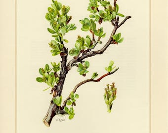 Vintage lithograph of the blunt-leaved willow from 1960