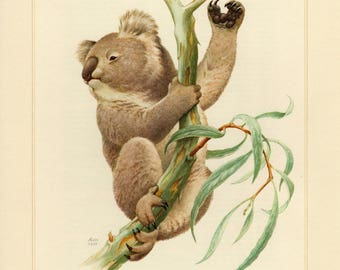 Vintage lithograph of the koala from 1956