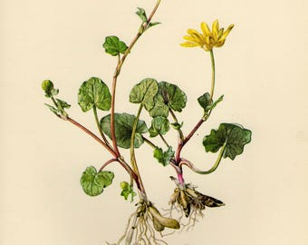 Vintage lithograph of the lesser celandine or pilewort from 1954