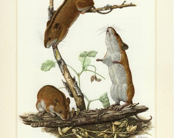 Vintage lithograph of the striped field mouse from 1956