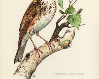 Vintage lithograph of the redwing or red-winged thrush from 1953