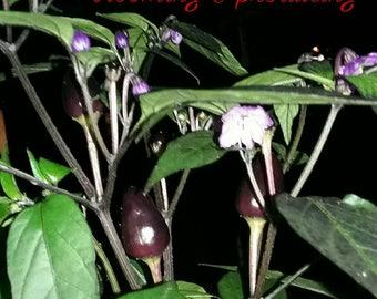 WEEKLY SPECIAL is Black Pearl Seeds!!