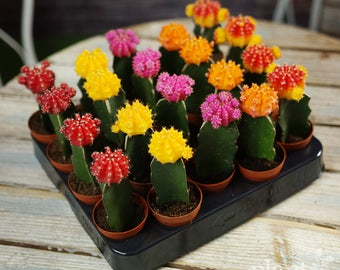 Moon Cactus Colourful Disco Mix - House / Office Live Indoor Pot Plant - Ideal Wedding Favour Party Gifts