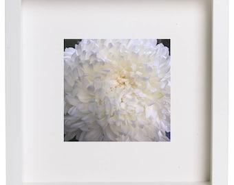 Giant White Chrysanthemum