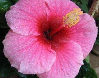 100 Hibiscus Flower Seeds Hardy DIY Home Garden