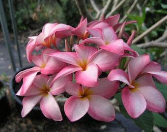 Baronet Plumeria