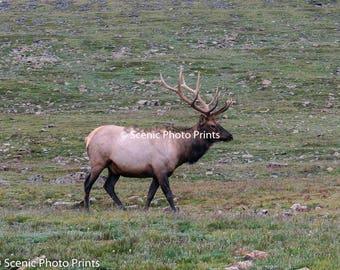 Bull Elk Colorado Rocky Mountains