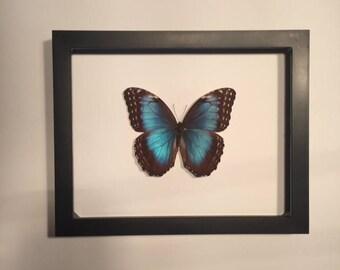 Morpho menalaus Framed butterfly