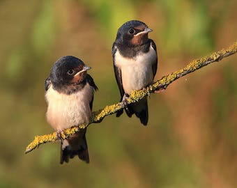 love nature nice swallow