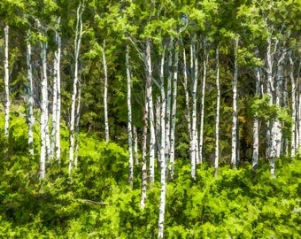 Stylized Aspen Trees Photo Print