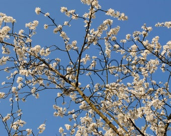 White blossoms with blue sky