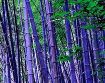 Rare Purple Bamboo Timor Bambusa Lako 30 + Seeds