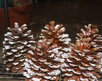 Giant,Frosted,Sierra Pine cones great for Crafts, Wreaths, Centerpieces