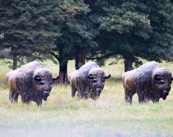 Where the buffalos roam