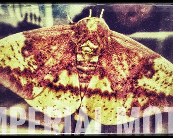 Imperial Moth Printable