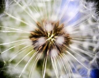 Dandelion plant close up macro colour photograph