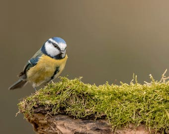 Wildlife Photographic signed mounted A4/A3 Prints of a Blue Tit