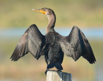 Framed Double-crested Cormorant