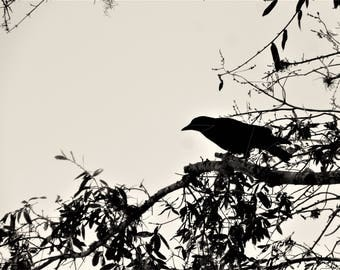 Crow - Downloadable Print