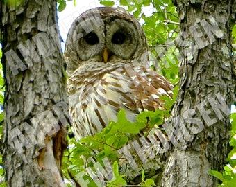 Barred Owl - Daytime 01