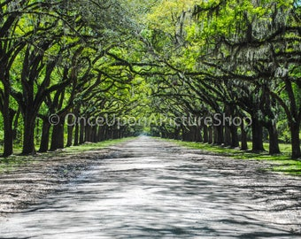 Tree Lined Wormsloe Entrance - Canvas Print