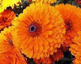 Calendula Pot Marigold- Orange- 50 Seeds