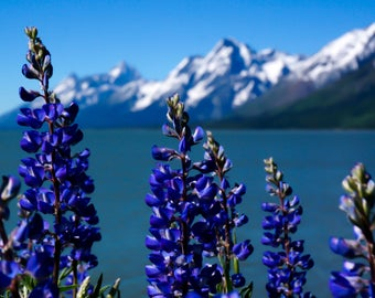 Landscape Photography, Nature Photography - Wildflowers at Jackson Lake