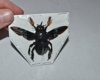 Carpenter Bees, Xylocopa latipes males from Java  Real Dried Insects
