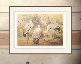 African Wood Ibis, Zoological Sketches, Vintage Print 1979/113, Josef Wolf, 1870s Birds Ornithology Print Woodland Library Decor