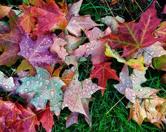 Bright fall leaves after rain fine art print , New England photography, home decor