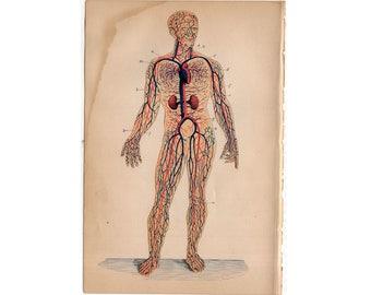 c. 1884 HUMAN ANATOMY PRINT - circulatory system - heart vein artery - antique medical print - physiology medical illustration - circulation
