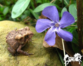 TOAD FLOWER CARD, 5 by 7 Inch Notecard w Photograph of Toad & Blue-Purple Vinca Blossom on White Cardstock Photo Note Cards Toads Frog Frogs