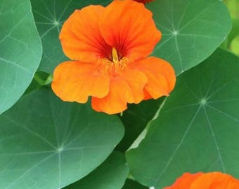4 Plants ~ Organically Grown Border Mix Nasturtium Seedlings  | Tropaeolum majus