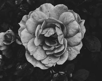 After the Rain - Black & White, Digital Photographic Print, Fine Art Photography, Floral Wall Art, Square, Home Decor, Dark Photography