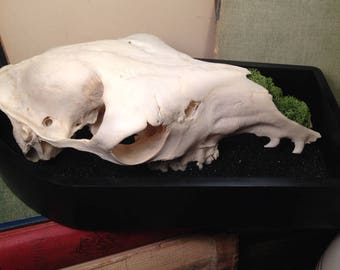 Real Llama Skull on Bed of Black Sand Coffin Wall Display