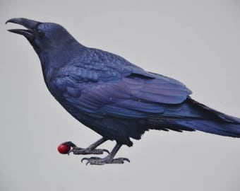 eb2851 Raven Photography 5 x 7 Matted to 8 x 10 Bird Member of Corvid Crow Family Raven Holding A Cherry