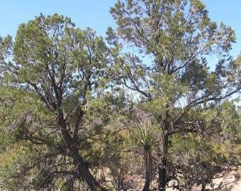 100 Singleleaf Pinyon Pine Tree Seeds, Pinus Monophylla