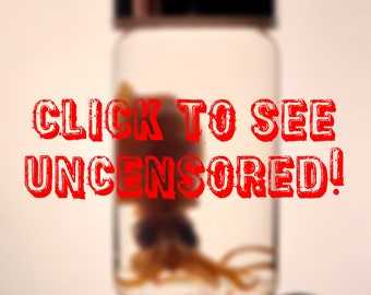 Small Baby Squid Wet Specimen Taxidermy Preserved Pickled Tentacle Cephalopod Aquatic Creature Feature Kraken Necklace