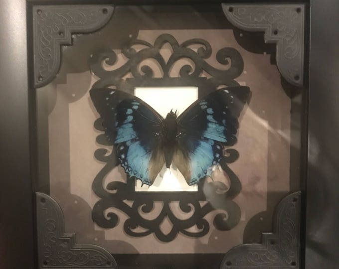 Real taxidermy western blue charaxes butterfly display!