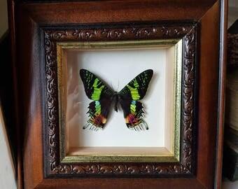 Gorgeous framed exotic Madagascan Sunset moth