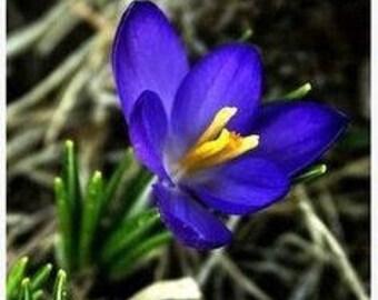 Saffron Crocus seeds,crocus of Kozani seeds,210,gardening, summer flower, blue saffron