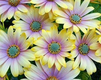 Livingstone Daisy mix,544,Dorotheanthus bellidiformis,gardening, flowers seeds, daisy seeds, spring flowers seeds,Osteospermum