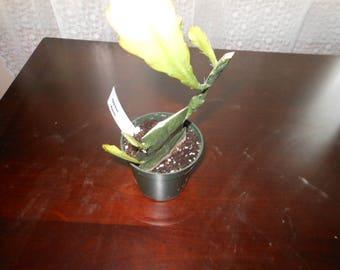 Epiphyllum Magenta