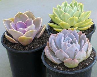 3 Large Colorful Echeverias, Succulent, Succulents, Succulent Plants, Hens and Chicks