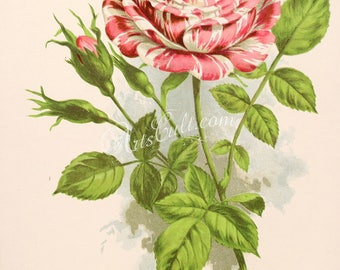 seeds_catalogs-02520 - Rose New Striped Rose Vick's Caprice high resolution vintage printable picture image print book plate public domain