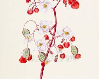Elephant Ear Begonia Flower Art Print, Botanical Art Print, Flower Wall Art, Flower Print, Floral Print, white, red