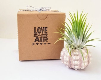 """Air Plant in Sputnik Sea Urchin Shell, """"Love is in the Air"""", Gift boxed, Instructions included"""