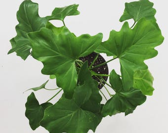 Philodendron Selloum 6""