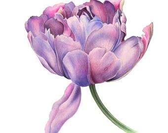 Parrot Tulip, original watercolor, botanical illustration